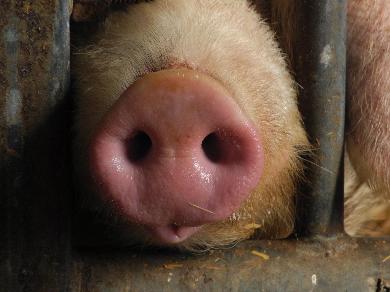 Arche de la nature Animal Body Part Animal Themes Close-up Domestic Animals Mammal Pig Pink Snout
