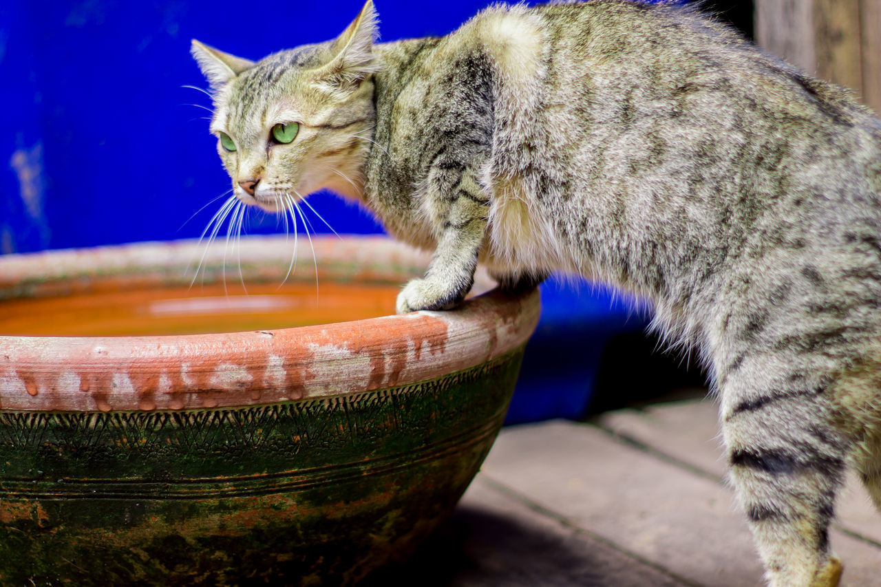Animal Themes Cat Close-up Day Domestic Animals Domestic Cat Drinking Water Cat Feline Green Eyed Cat Indoors  Mammal No People One Animal Pet Cat Pets Skinny Cat Sneaking Cat Thai Cat Water Weird Cat Whisker