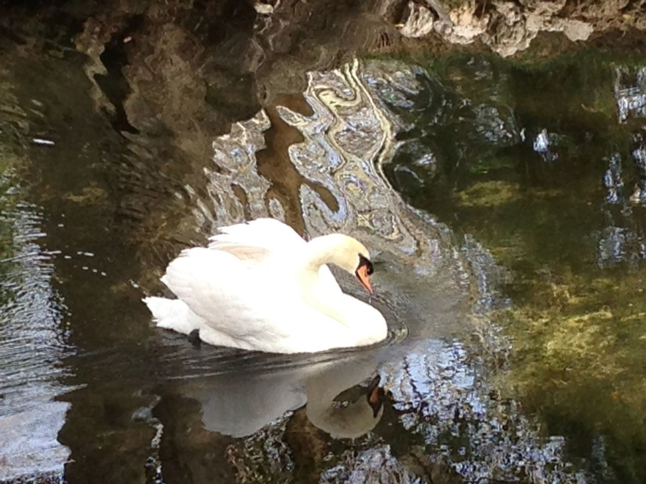 High Angle View Of Swan Swimming On Lake