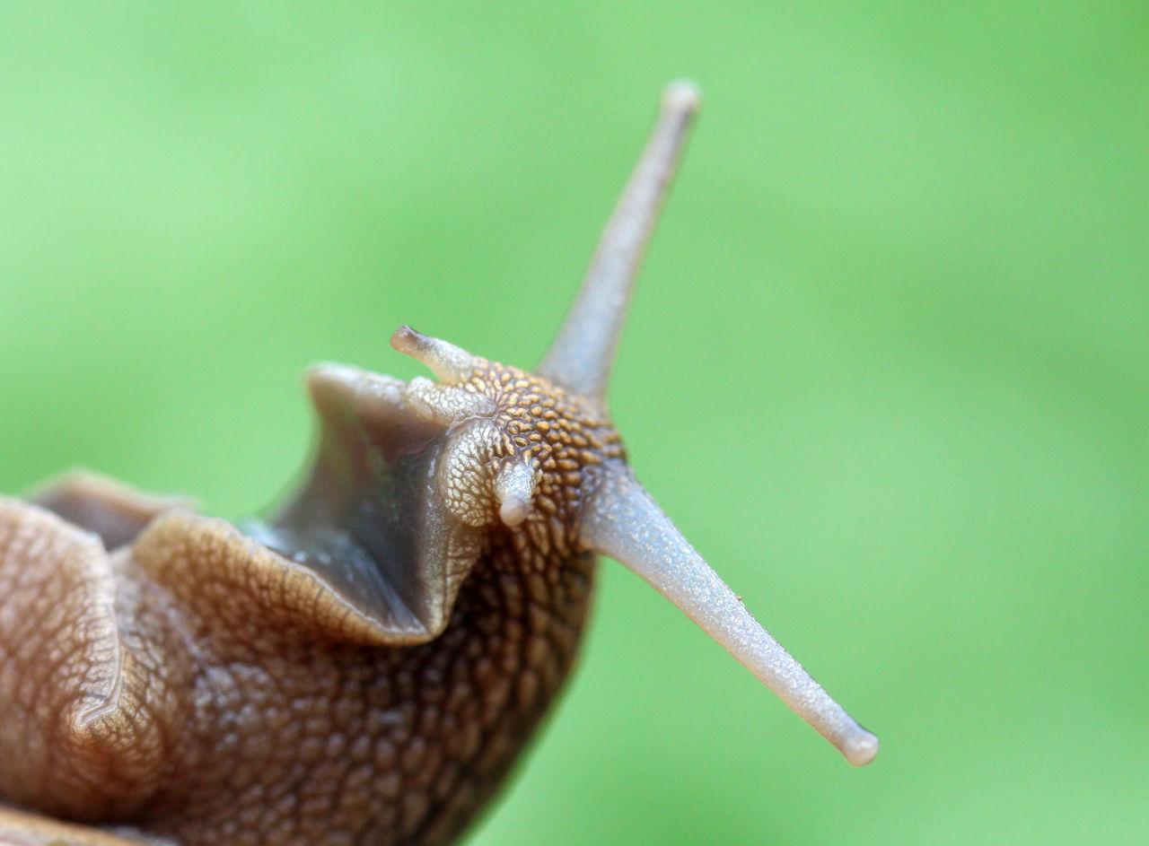 snail, Animal Themes Animals In The Wild Antenna Close-up Day Escargot Eyes Garden Snail Macro Nature No People One Animal Outdoors Snail Wildlife