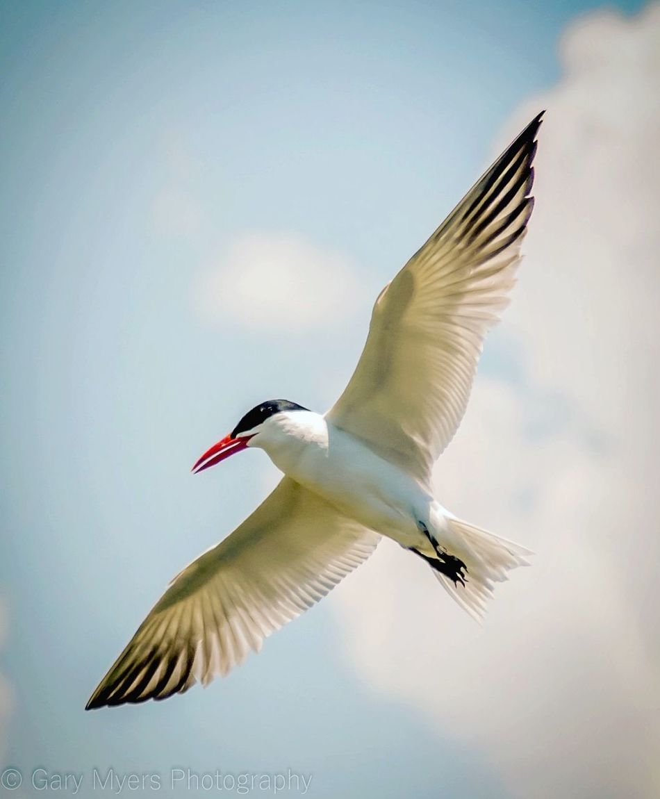 Lit From Above The View From Here Blue Sky Wingspan In Flight Take Flight Bird Photography Birds Of EyeEm  Birds_collection Tern Soar Soaring Fly