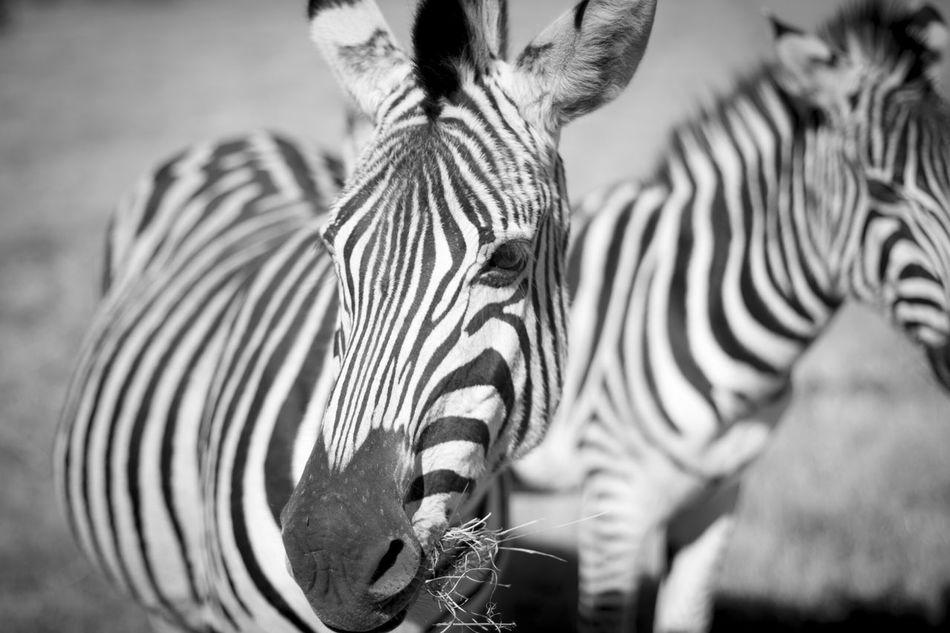 Beautiful stock photos of zebra, Animal Themes, Animal Wildlife, Animals In The Wild, Day