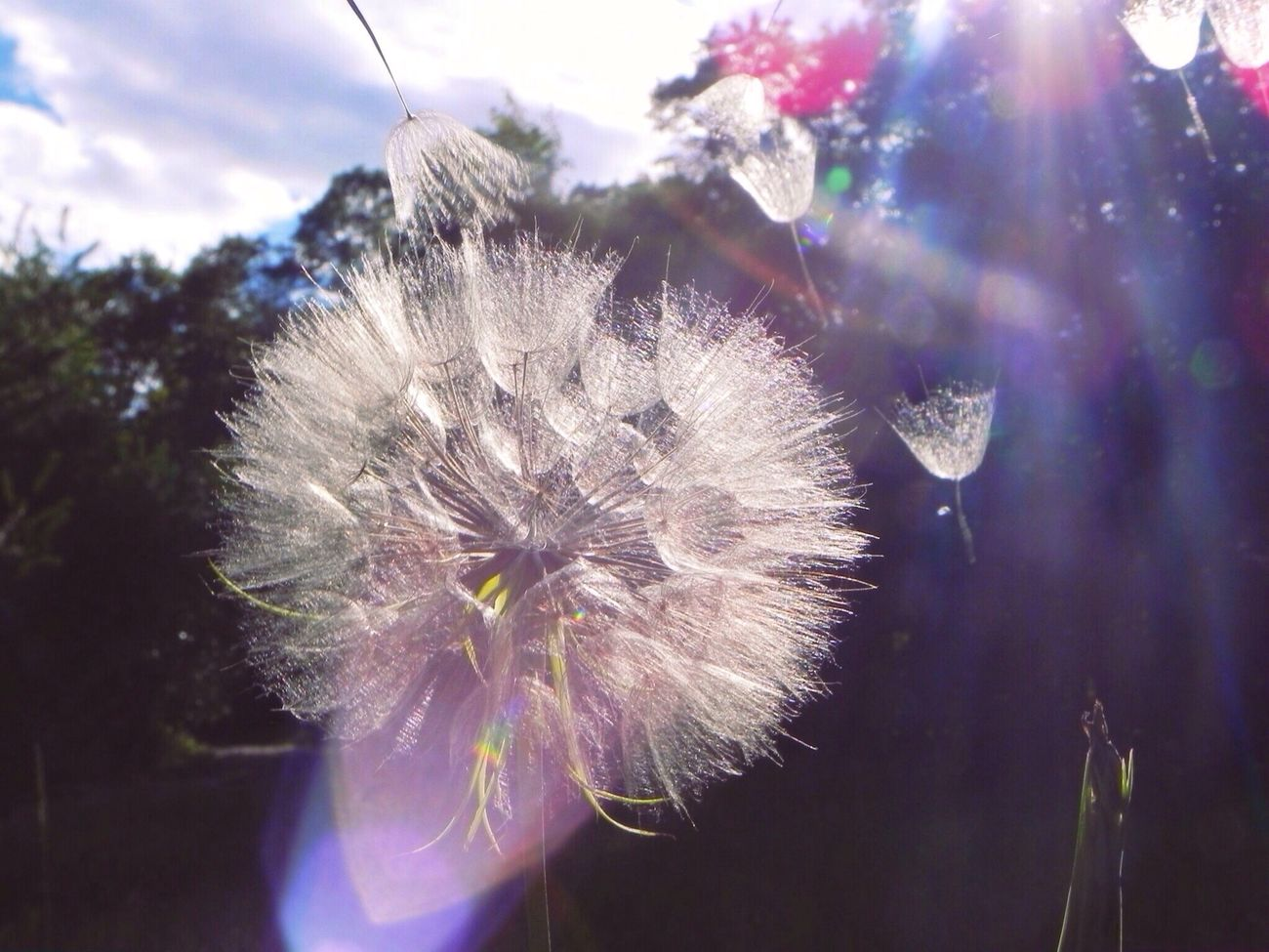 What Does Peace Look Like To You? It looks like a mother letting go of her babies. Dandelion Sun Nature