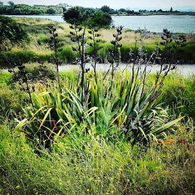 Harakeke Flax Swamp Marsh Haumoana As_archive Rebelsunited_nature Rsa_nature Ig_masterpiece Tt_rt_nature Universalviews Natureromantix Ig_globalclub