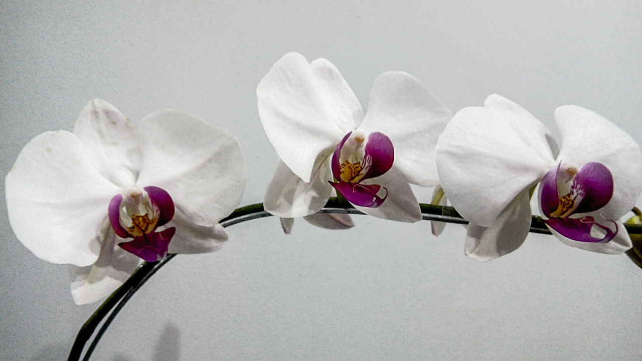 Beautiful stock photos of orchid, Beauty In Nature, Close-Up, Flower, Fragility