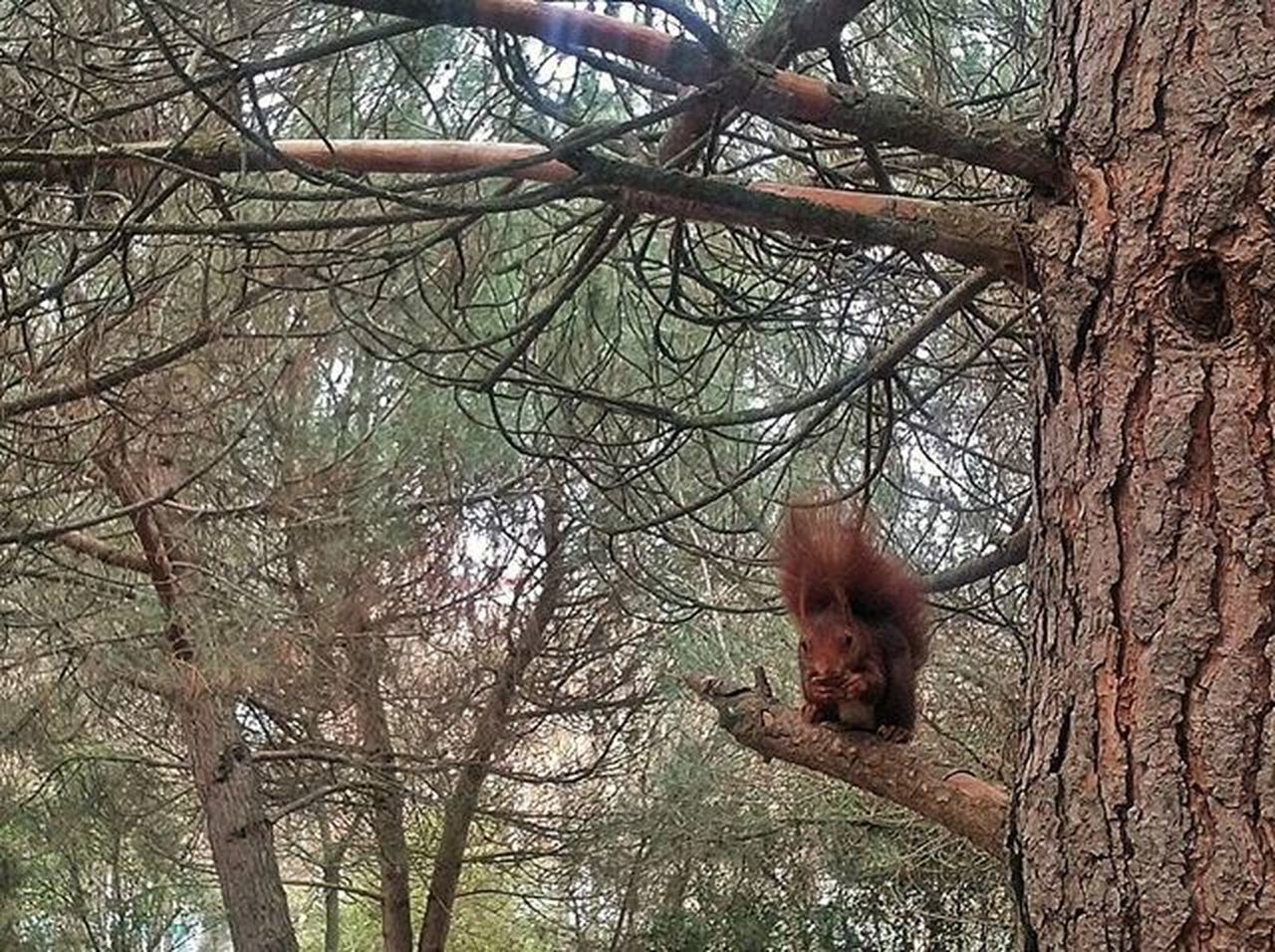 tree, one animal, bare tree, branch, mammal, animal themes, animal wildlife, tree trunk, animals in the wild, outdoors, day, no people, nature, red panda, monkey, sky