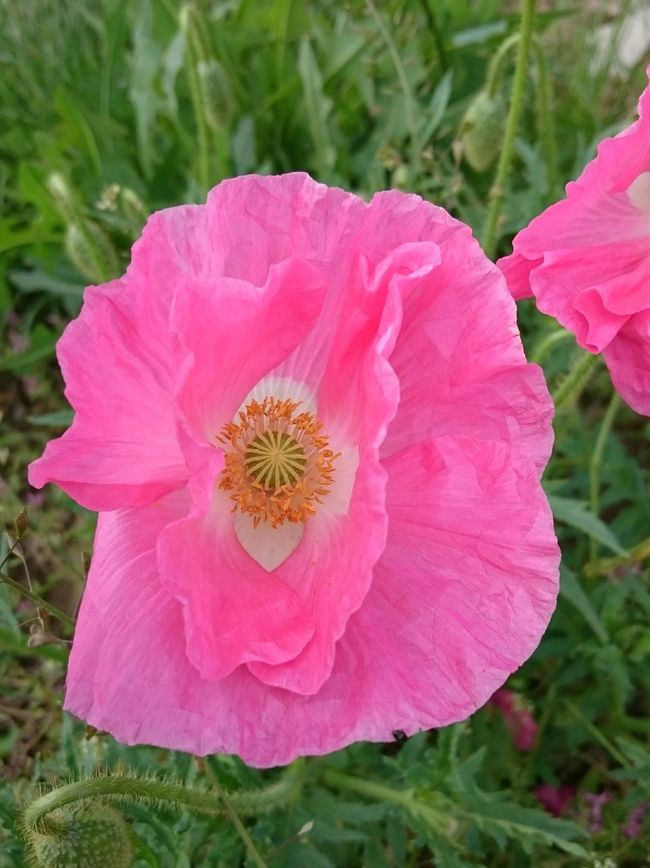 Pink Pink Pink Pink  Pink Flower 🌸 Pink Flowers Pink Poppy Flower Pink Flower Pink Color Mohn Mohnblume In Pink Mohnblumen Mohnblume Funny Nature Nofilter Noedit