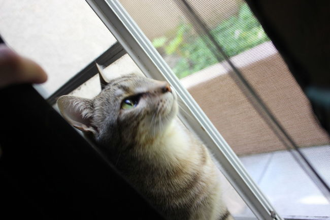 Curious Cat Animal Themes Cat Cat Looking Out Window Close-up Curiosity Day Domestic Animals Domestic Cat Feline Green Eye Cat Green Eyes Indoors  One Animal One Person Oriental Tabby People Pet Pets Stripped Cat Window Pet Portraits