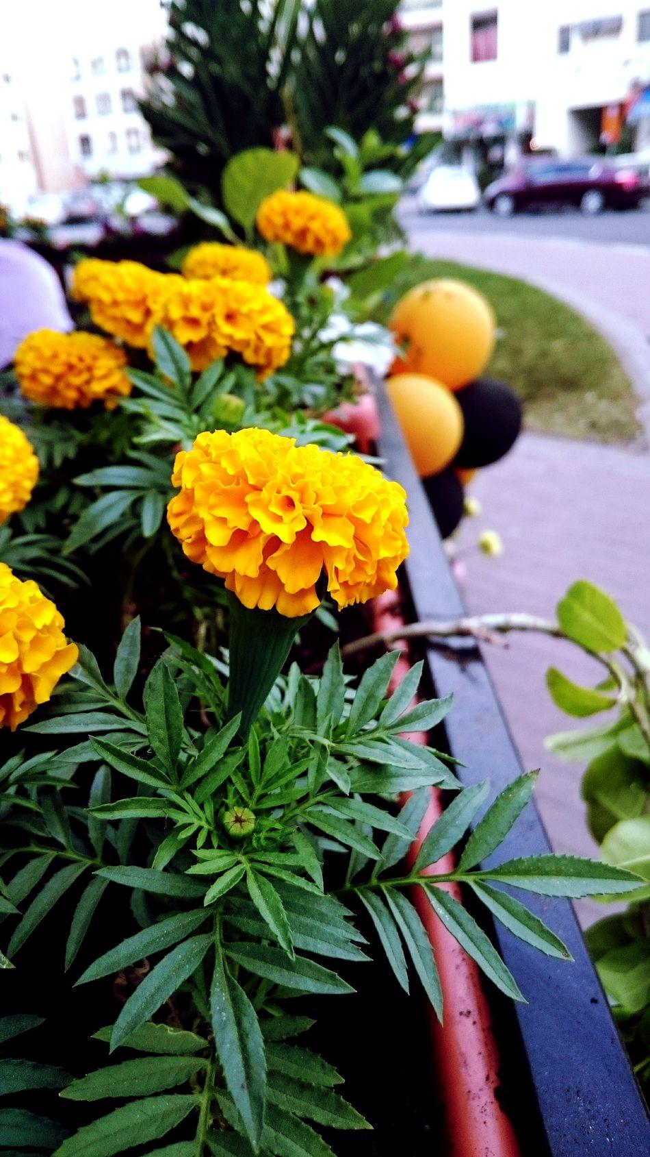 Karama Flower Flora Dubai Marigold Photography Dubai❤ DXB Dubai UAE Likeforlike Tagsforlikes Tagstagramers Smartphonephotography Mobilephotography XPERIA Sony XperiaZ3 Xperiaz3photography Livelovedubai