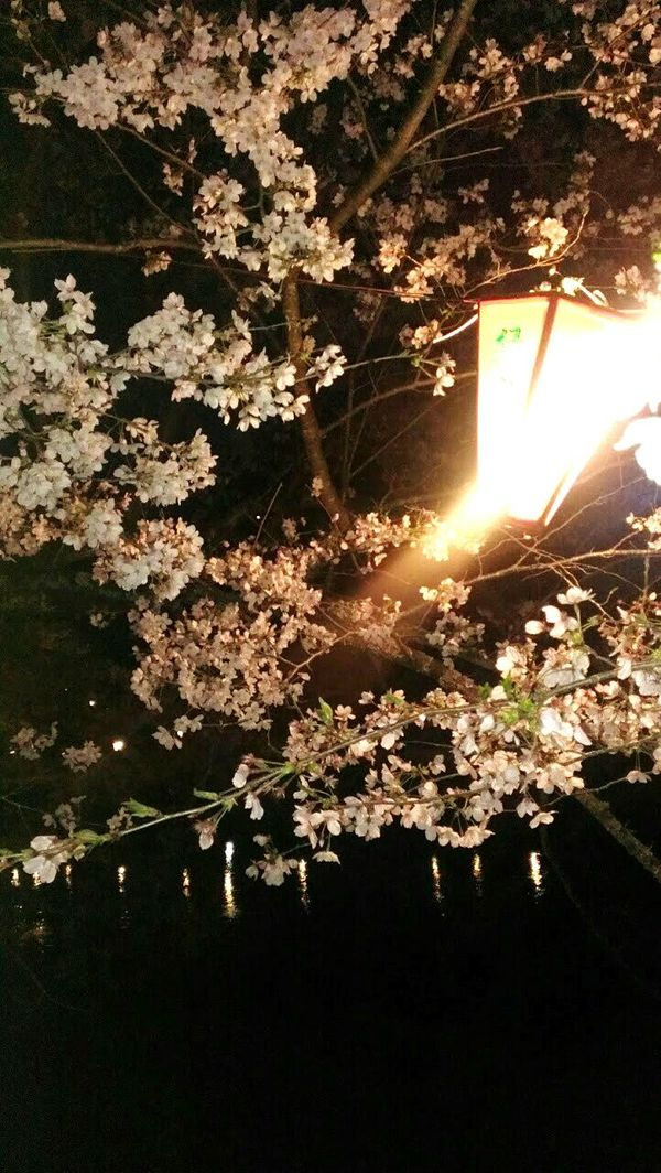 夜桜 Spring 桜 桜満開 夜桜 ぼんぼり Cherry Blossoms Cherry Tree Flower Cherryblossom At Evening Nightphotography Night View