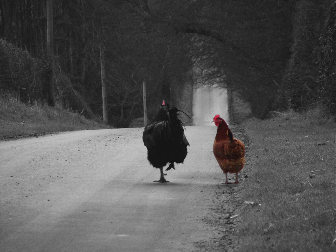 Are we being followed? Chicken Chooks Cockerell Countryside Full Length Hen Humour Nature Outdoors Road Scotland Selective Color Tranquil Scene