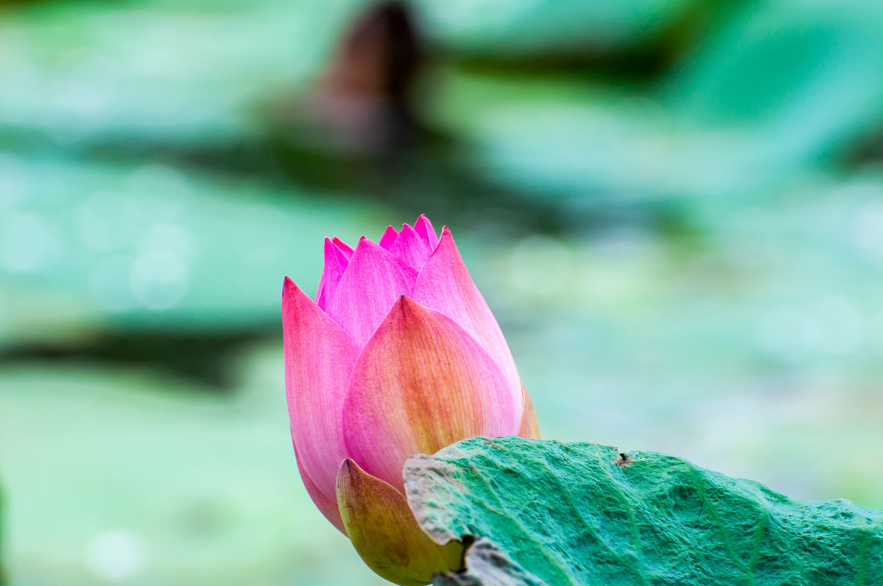 lotus Beauty In Nature Blossom Close-up Day Flower Flower Head Focus On Foreground Fragility Freshness Green Color Growing Growth In Bloom Lotus Water Lily Nature Outdoors Petal Pink Pink Color Selective Focus Single Flower Springtime Stem Vibrant Color Water Lily