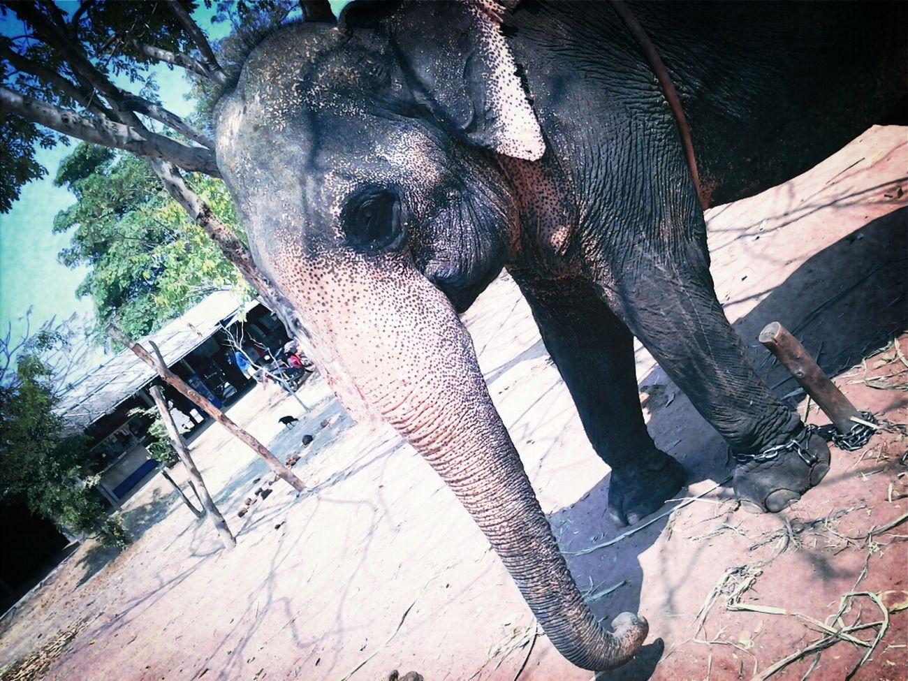 Animal Elephant