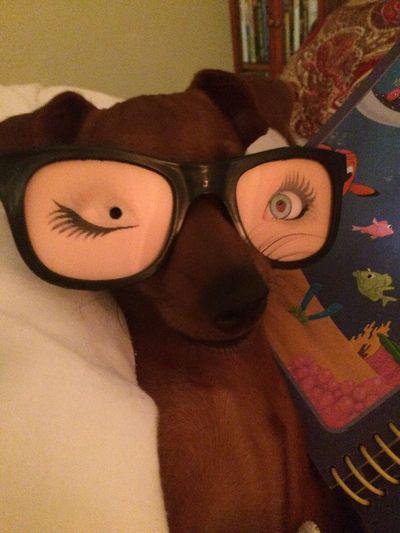 Sira Minidoberman Dogs Minidobermanpinscher Funny