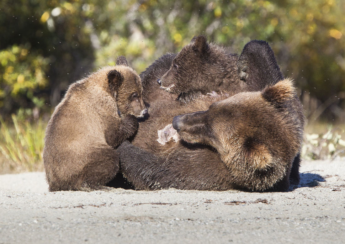 Cubs feeding Animal Themes Animal Wildlife Animals In The Wild Bear Bear Cubs Breastfed Cubs Day Grizzly Bear Mammal Nature No People Outdoors Togetherness