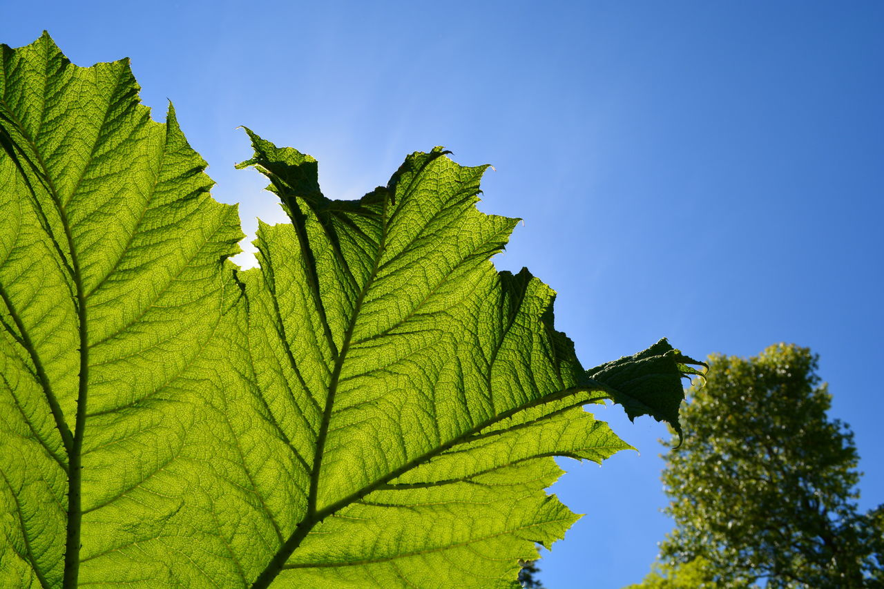 Beautiful stock photos of leaf, Backlit, Blue, Clear Sky, Day