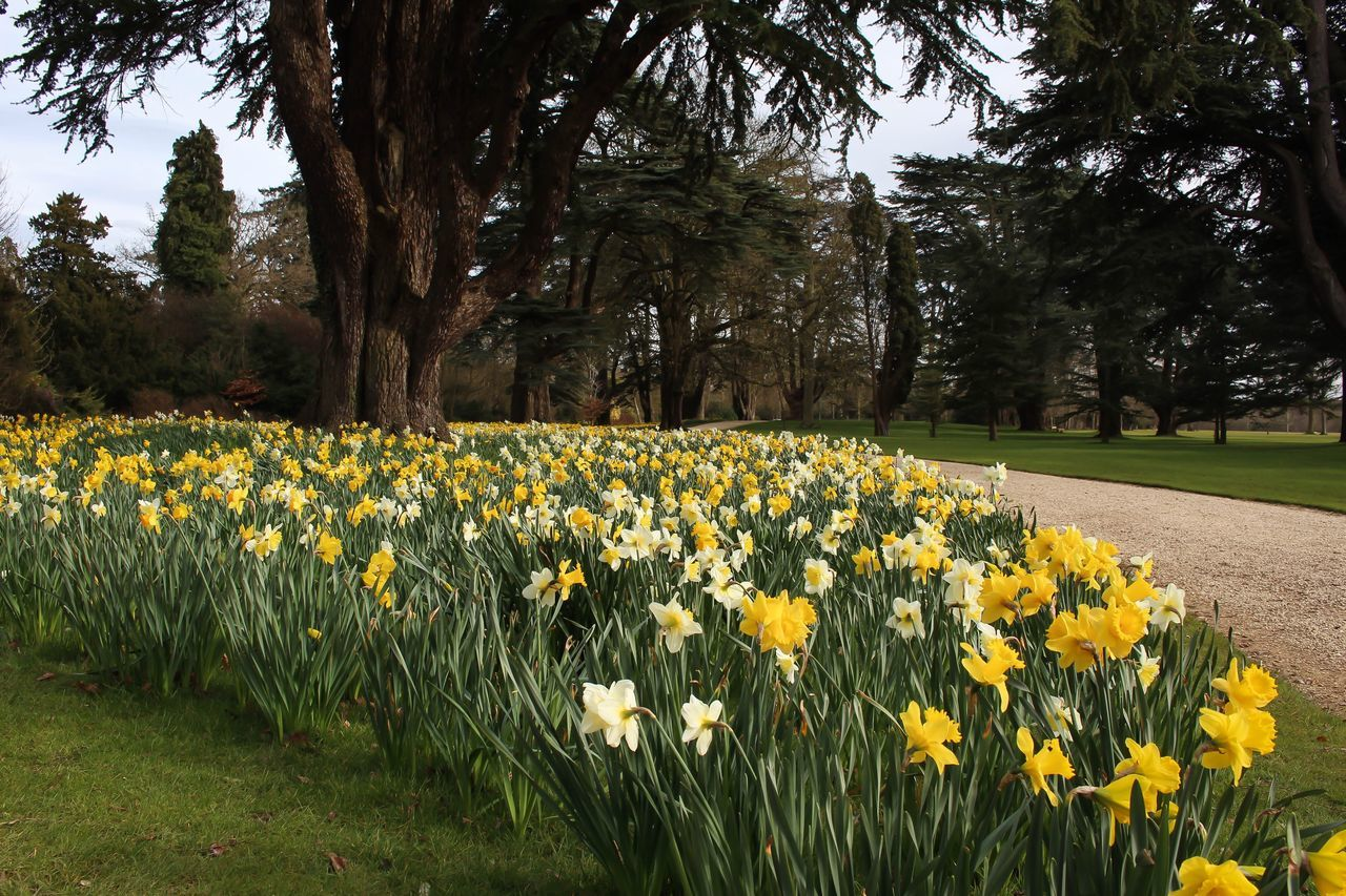Daffodils in the spring. Blenheimpalace Daffodils First Eyeem Photo
