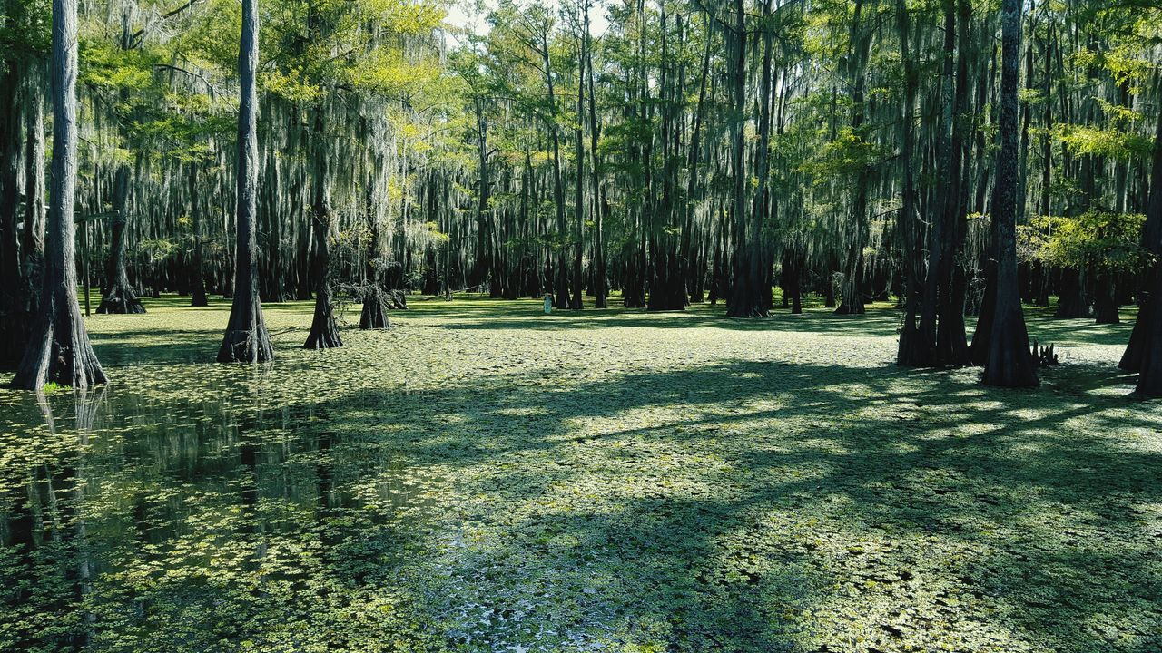 Caddo Lake Cypress Trees  Cypress Forest The Great Outdoors - 2017 EyeEm Awards
