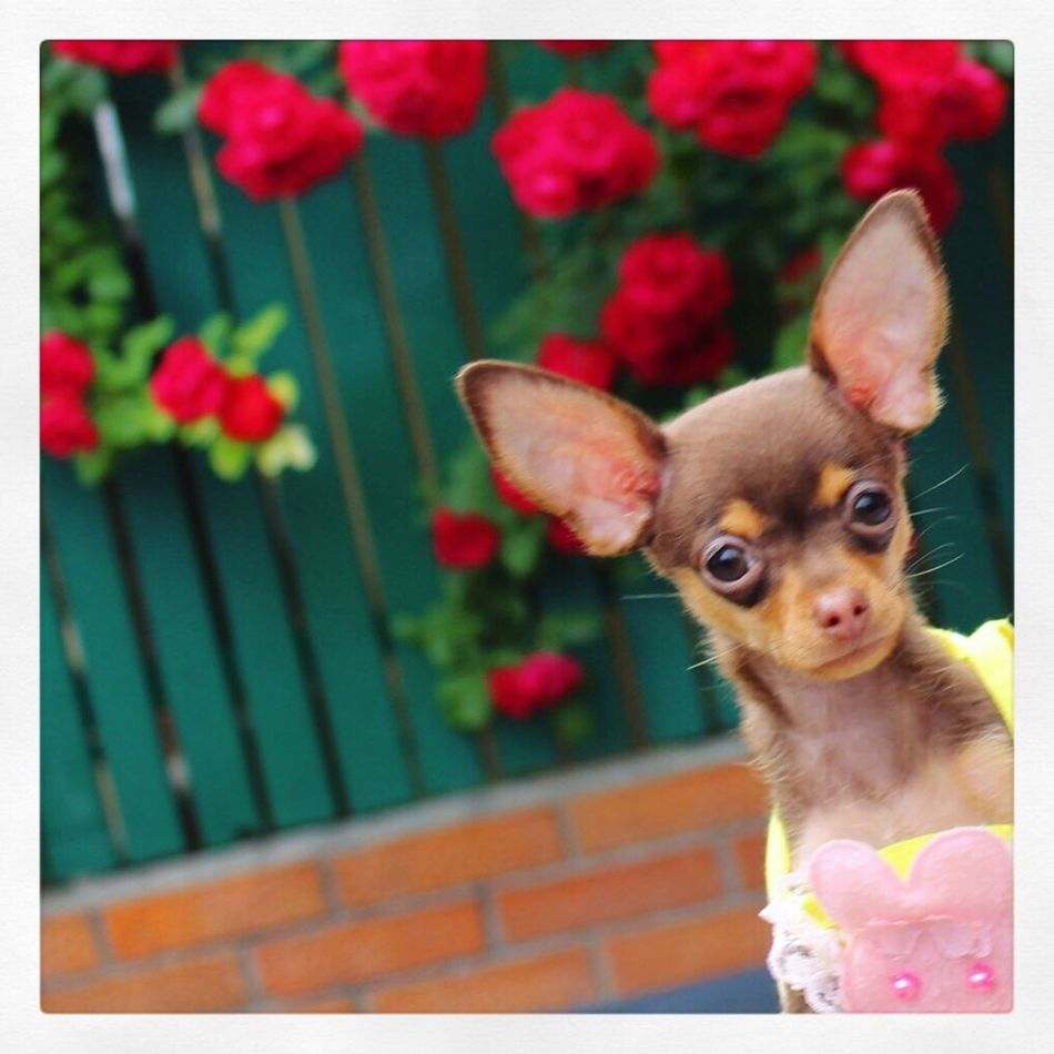 My beautiful princess (моя ты принцесса) Russiantoy Russiantoyterrier Russiantoyterier русскийтойтерьер тоечка русскийтой Puppydog