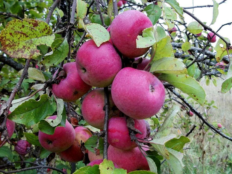 Early Fall Tree Apple Tree