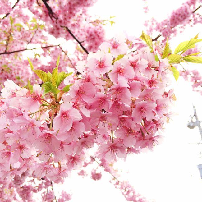 Cherry Blossoms Japanese Cherry Blossoms Sakura Sakura Trees Spring Flowers Pink Flower Pink