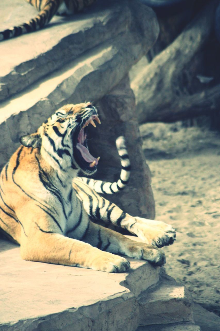 one animal, mouth open, animals in the wild, animal themes, animal wildlife, no people, tiger, day, outdoors, nature, mammal, close-up, tree