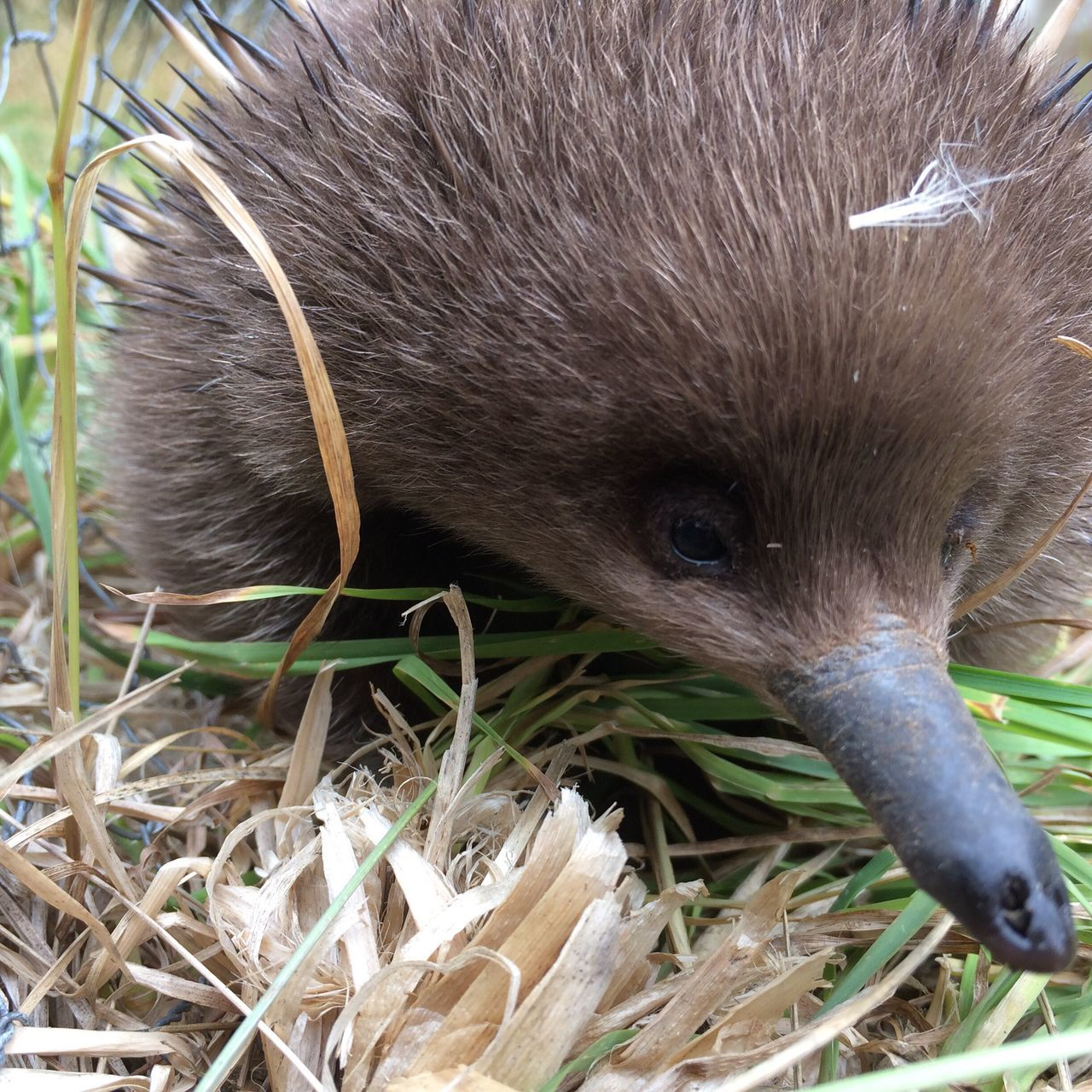 Echidna Native Wildlife Spiky Cute Snout Nature Animals In The Wild Close-up No People No Filter Outdoors Tasmania Beautiful Photography EyeEm Still Life EyeEm Best Shots Focus