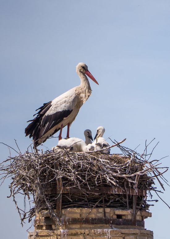 Animal Family Animal Nest Animal Themes Animal Wildlife Animals In The Wild Beak Bird Bird Nest Clear Sky Day Low Angle View Nature No People Outdoors Pelican Perching Sky Stork Togetherness Two Animals White Stork