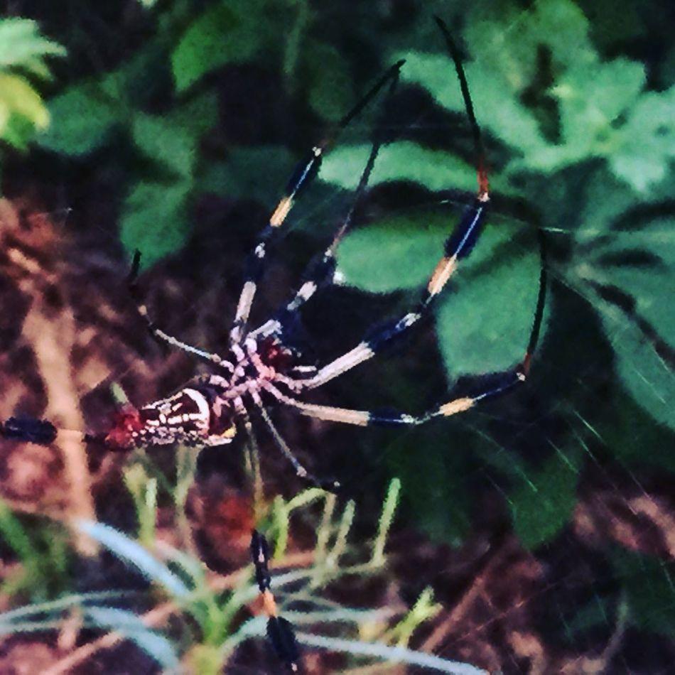 Banana Spider Florida Nature Big Spider