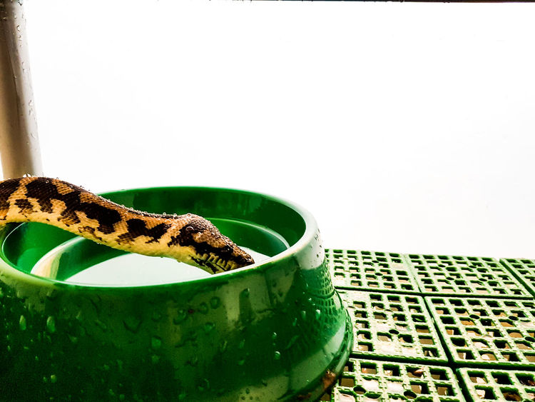 Carpetpython Drinkingsn Reptile Reptile Photography Reptiles Thristy Thristys Waater