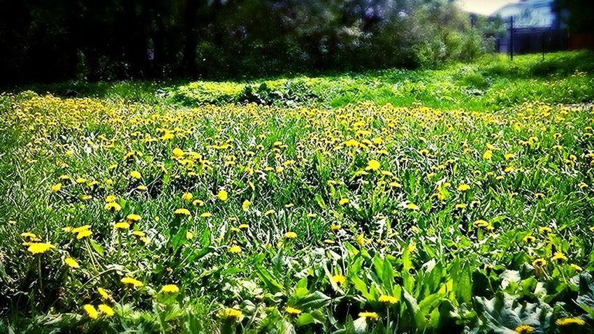 Одуванчики... Nature Photography Flowers Dandelions Bloom Dandelion In Spring Dandelion Friday ;)