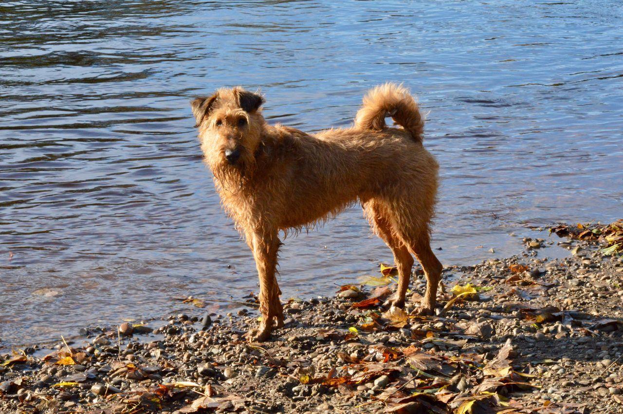 Irish Terrier, Cormac Irish Terrier