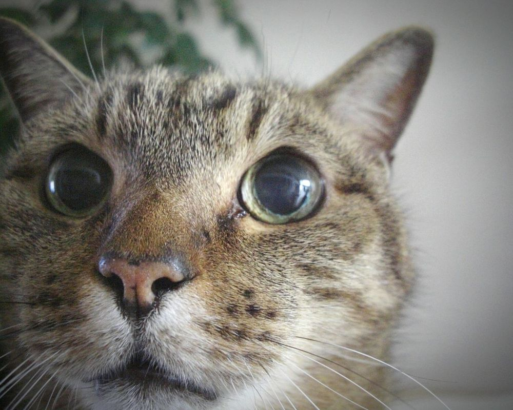 Love Cat ♥ My Cat Mon Chat  MI GATO 💗💗 猫 🐱 大好き Close-up Portrait Pet Portraits