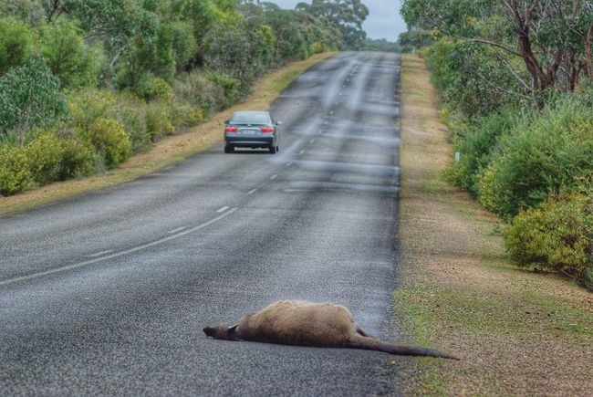 Kangaroo death Non-urban Scene Car Road Tree Transportation Nature Tranquility Protection Tranquility Guidance Relaxation Death And Life