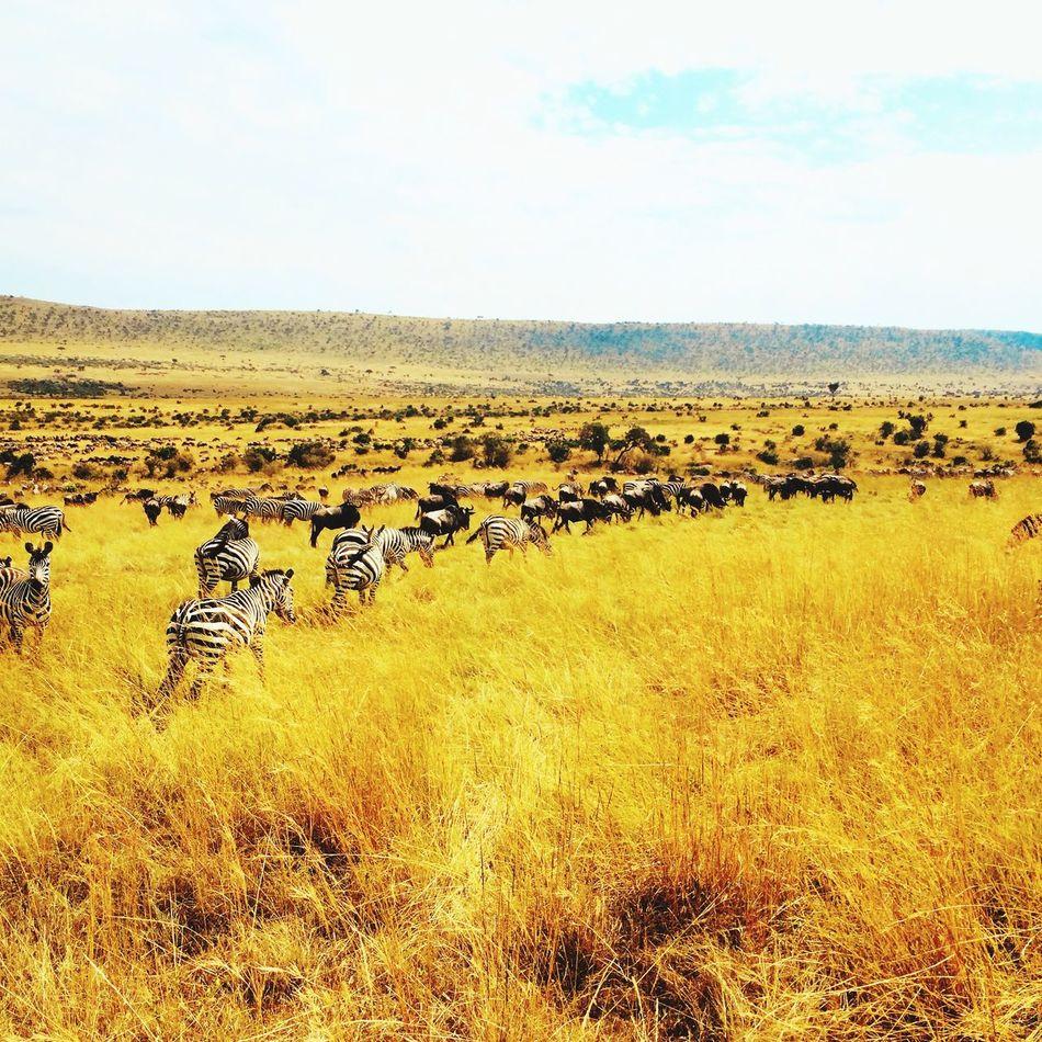 The Great Outdoors - 2016 EyeEm Awards Thegreatmigration Serengeti Serengeti National Park Serengeti, Tanzania Kenya Africa Vacation Summer Zebra Wildlife Wildlife & Nature Wilderbeast