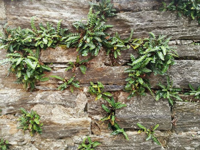 Wall Plant Plant On Wall Full Frame Backgrounds Leaf Fence Ivy Village Village Life Wild Plants Wild Life Plant Life Plant Photography Pelion,Greece Greek Village Greece Freshness Wild Herbs Herbs No People Close-up Outdoors Textured