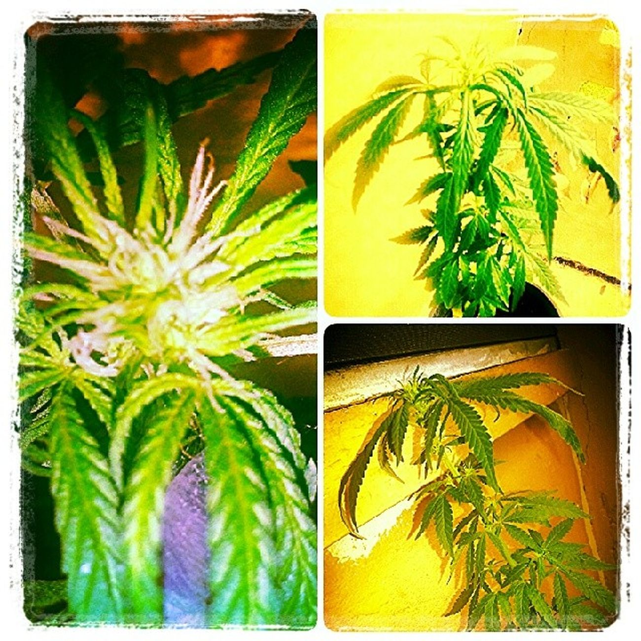 Lookin gd give it about a year and my babys gon be ready... LetsGetMedicated Drugdilla