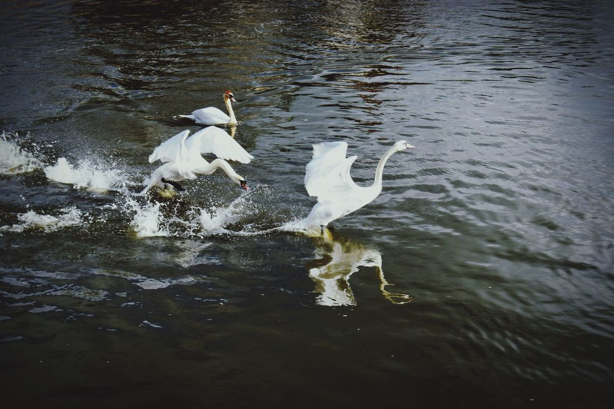 Swan Bird Water Animals In The Wild Animal Themes Flying Lake Animal Wildlife No People Spread Wings Nature Outdoors Day