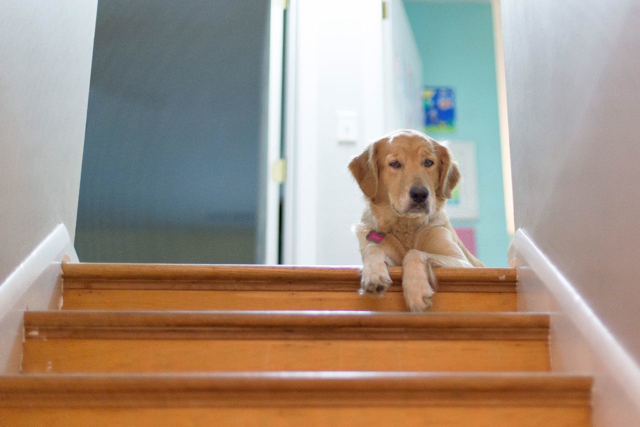 dog, pets, one animal, mammal, domestic animals, staircase, indoors, animal themes, no people, day, beagle