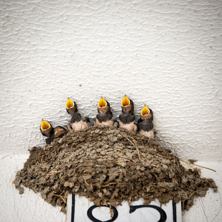 """Singing all together now """"We-are-family!"""" Abundance Animals Birds Choir  Day Family Fresh On Eyeem  Hungry Lunch Time! Nature Nest No People Outdoors Side By Side Singing Sisters Spring Has Arrived Swallow Adapted To The City"""