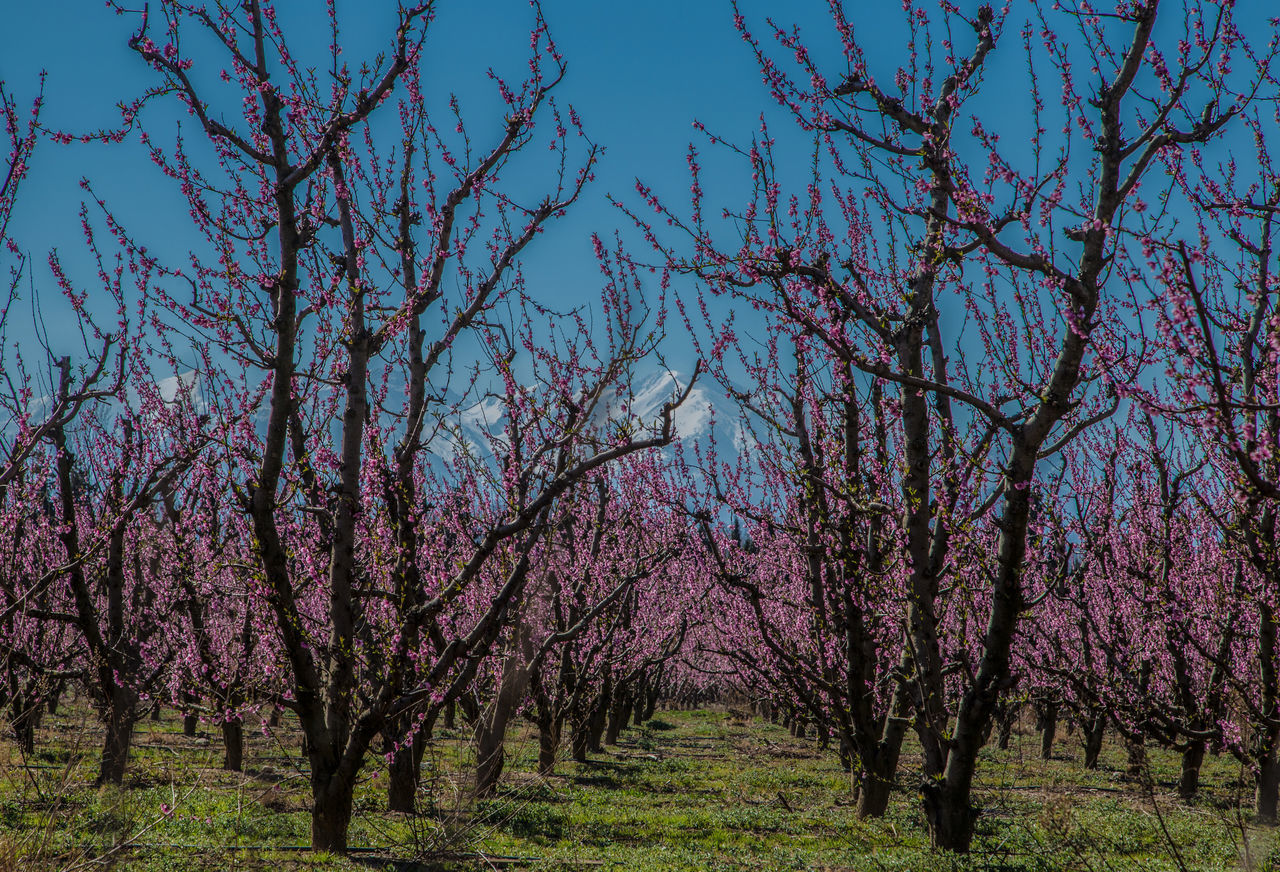 tree, beauty in nature, nature, blossom, flower, springtime, branch, scenics, tranquility, growth, no people, freshness, day, outdoors, pink color, landscape, sky, fragility