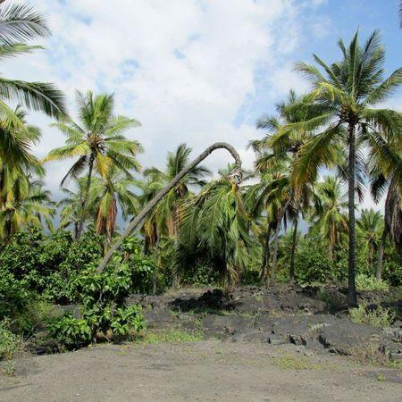 Bent Coconut Tree: Traditional Hawaiian Method for Easy Harvesting Subsistence Ancient Civilization Traditional Culture Traditional Farming Ethical Agriculture Agriculture Farming Arborist Organic Food Organic Farming Coconut Lost In The Landscape