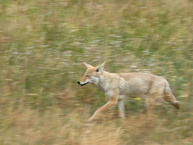 On the move Yellowstone National Park Animal Themes Animal Wildlife Animals In The Wild Blurred Motion Coyote Day Grass Mammal Motion Nature No People One Animal Outdoors EyeEm Nature Lover