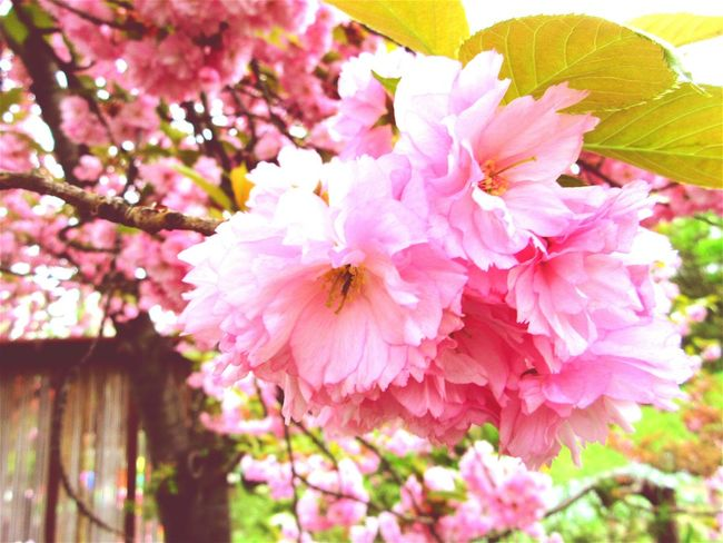 Cherry Tree Japanese Cherry Tree. Japan Relaxing Taking Photos Check This Out Hanging Out Enjoying Life Hello World Happy Spring Nature Flowers