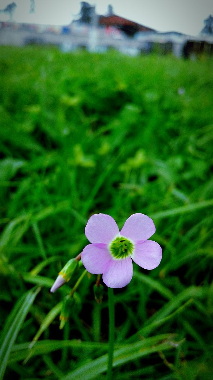 growth, flower, field, nature, focus on foreground, green color, beauty in nature, day, freshness, outdoors, petal, plant, fragility, no people, grass, flower head, close-up, blooming, periwinkle