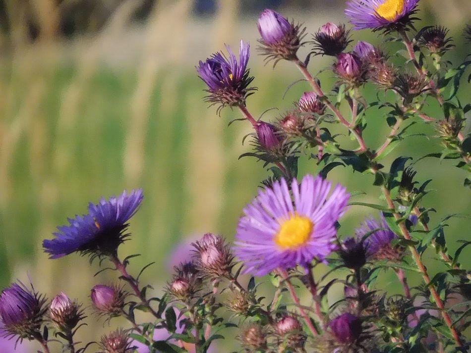 Fleur Pourpre Beauté De La Nature Lavande Fragile Delicatesse Des Fleurs