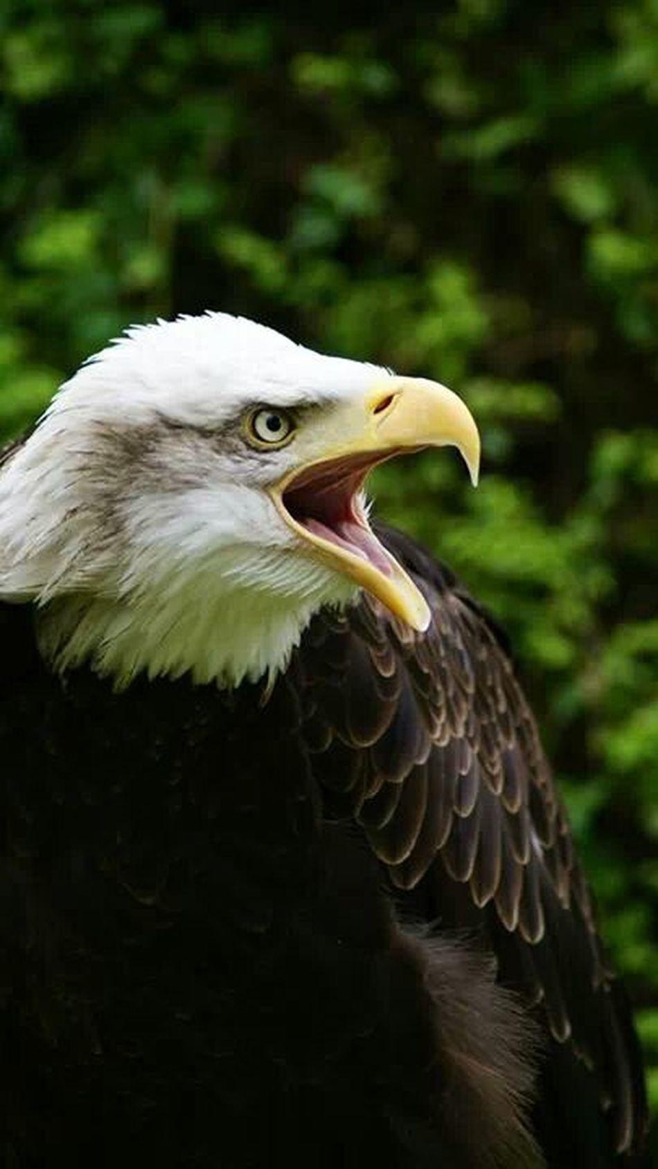 Beautiful stock photos of bald eagle, NULL