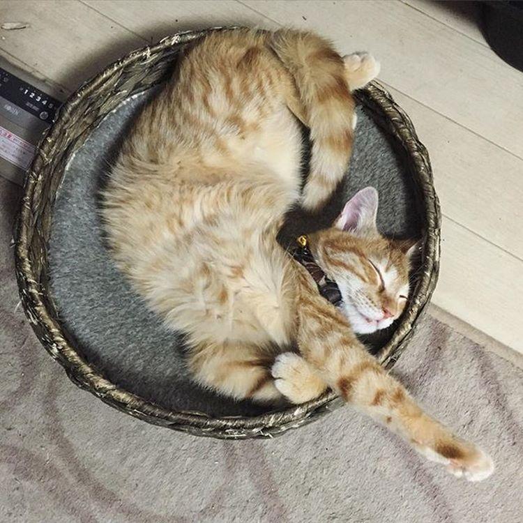 Cat Neko ねこ 猫 ねこ 茶トラ Cats Piopio Pio ピオ かご猫 いつだかのカゴの中で捩れるピオでおはようございます💦😚😽💕こないだ2回目のワクチン打ったけど、年末の1回目のワクチンの時より500グラム体重増えてましたよ👏