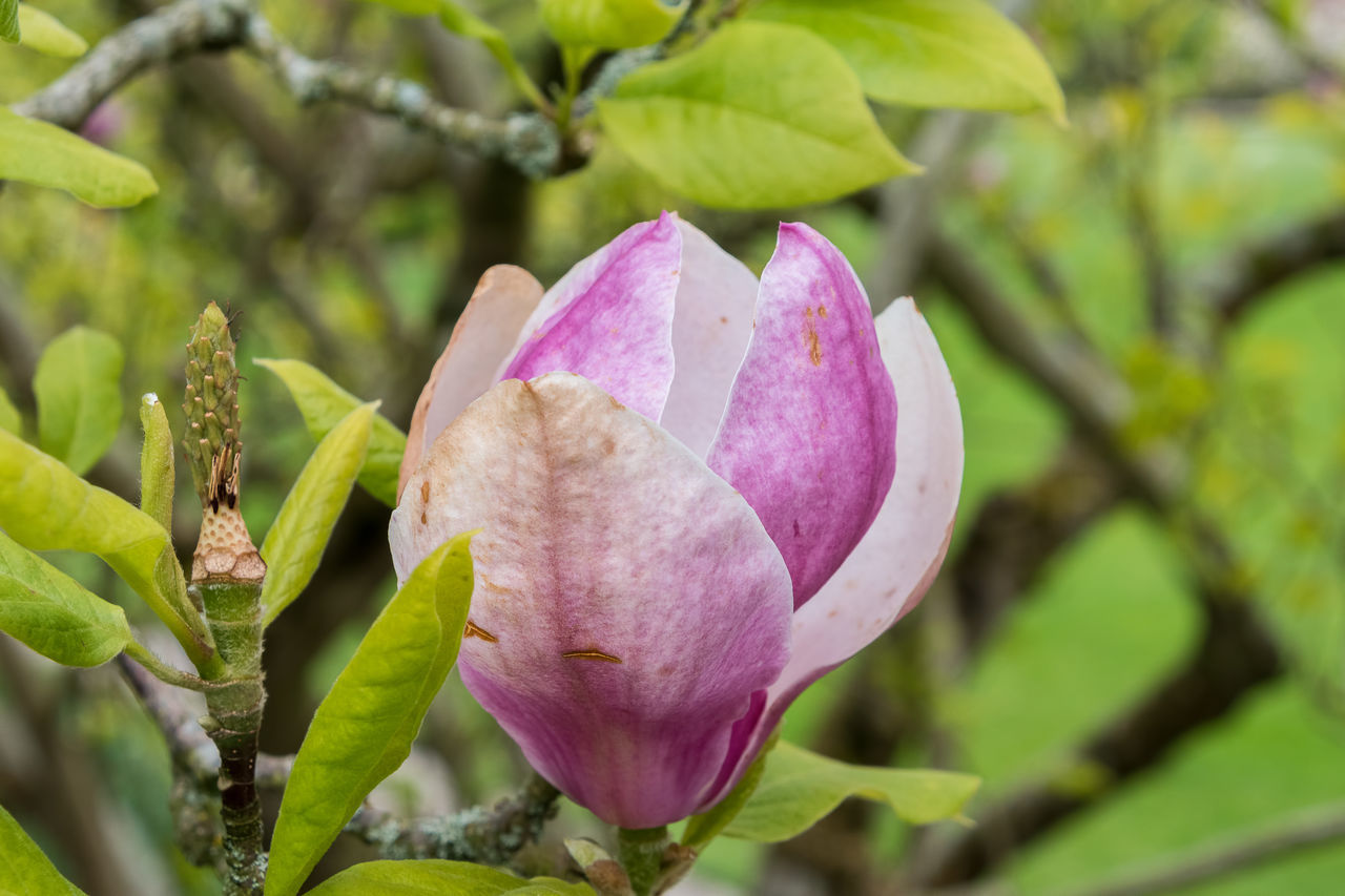 growth, flower, petal, nature, pink color, beauty in nature, fragility, freshness, flower head, day, plant, no people, focus on foreground, outdoors, close-up, leaf, blooming
