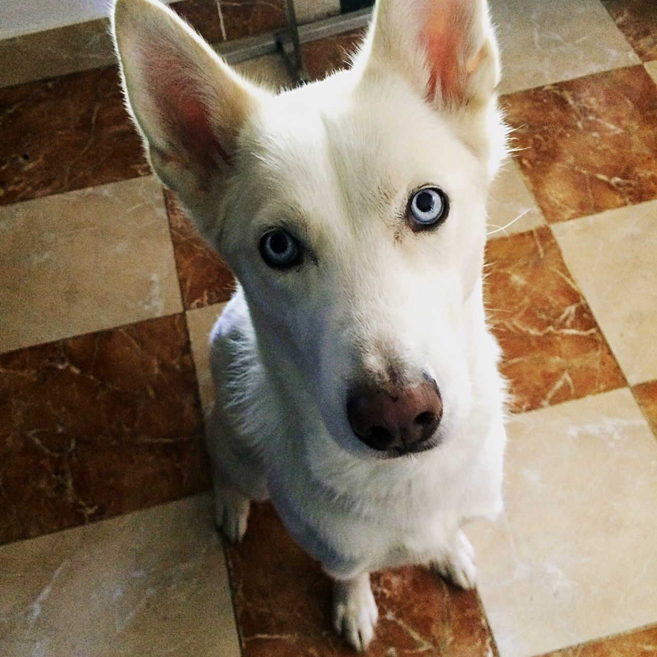 Huskyphotography Siberian Husky Mylunch!!! Love BlueEyes Dog Pets Socute One Animal Animal Themes Mypets EyesEm EyeEm Gallery Jerestecalmemaisdepechetoi Jeveuxmescroquettes BYOPaper! Pet Portraits